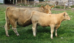 Lot 19 - Gilliland Romy 2R - Mack's Charolais and Lot 19a - Windyview Zipo 7Z - Kirlene Cattle